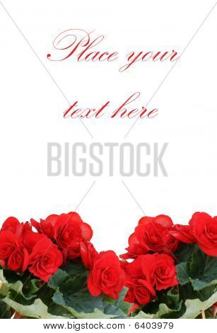 Red Begonia With Copy Space