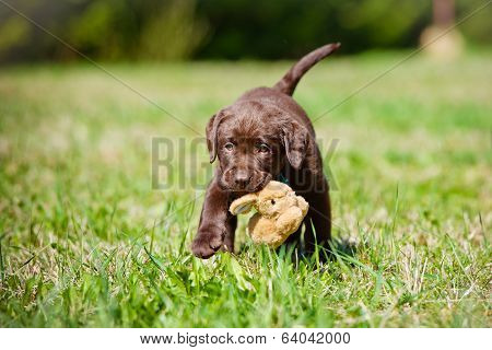 adorable brown labrador retriever puppy