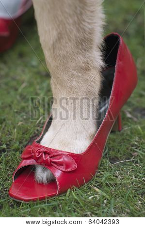 Dog Wearing Lady`s Shoes