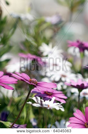 Dimorphotheca White And Violet Flowers Under Bright Sunshine poster