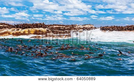 Wild South African seals, many cute sea lions having fun in the water, beautiful wild animals, exotic tourism concept