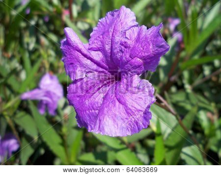 Purple Mexican Petunia