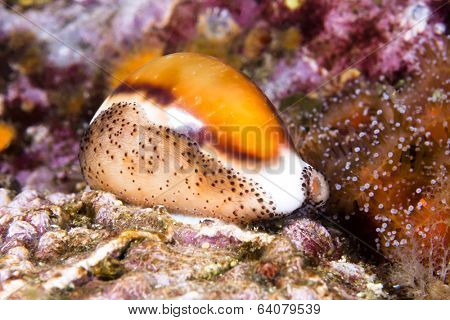 A beautiful cowry snail, a mollusk, crawls across a colorful reef with its mantle wrapped over its shiny shell.