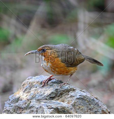 Rusty-cheeked Scimitar-babbler