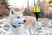 Woman hiking in white winter forest with akita dog. Recreation and healthy lifestyle outdoors in nature. Akita dog portrait on sunset. poster