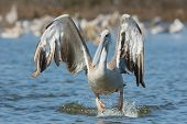 A Pink-backed Pelican (Pelecanus rufescens) hopping in the air for a lunge poster