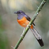 Beautiful song bird, juvenile male White-rumped Shama (Copsychus malabaricus), standing on a branch, breast profile poster