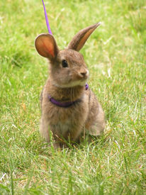 Rabbit On A Leash