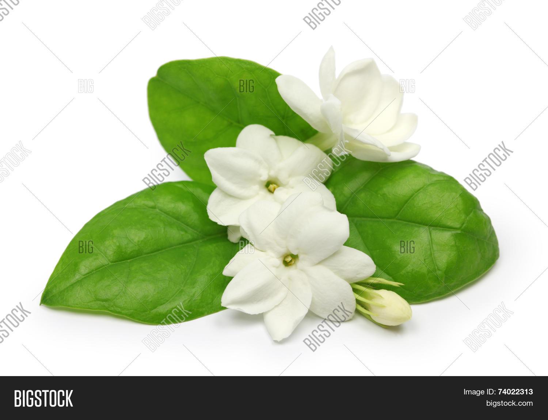 Arabian Jasmine Image Photo Free Trial Bigstock