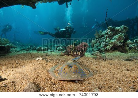 blue spotted sting ray and scuba divers poster