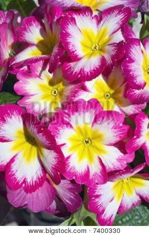 Bunch Of Cultivated Primroses