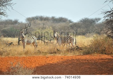 Zebras On Red Sand