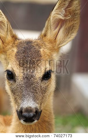 Portrait Of A Young Roe Deer