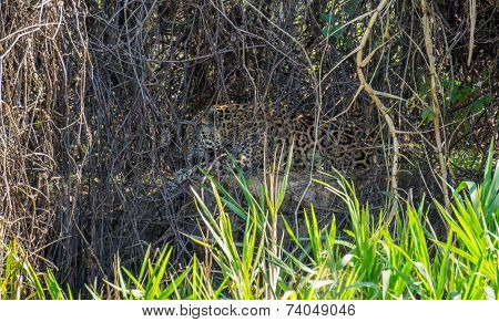 Wild Jaguar licking itself behind plants in riverbank, Pantanal, Brazil