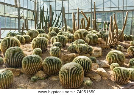 Group Of Golden Barrel Cactus