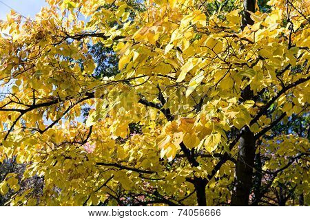 Autumnal Linden Tree Foliage