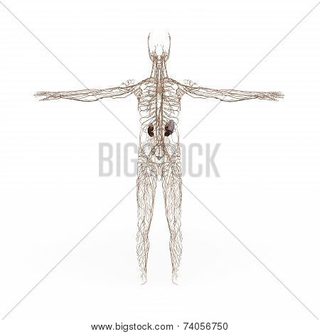 Male Anatomy Lymphatic System