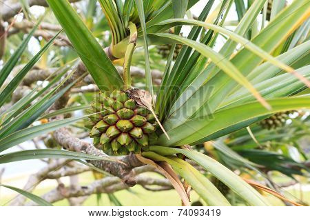 Fruit Pine Of Common Screwpine (pandanus Utilis) Tree