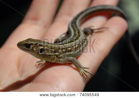Little lizard on the palm