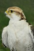 Profile of a falcon bird of prey. poster