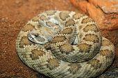 captive crotalus viridis. prairie rattlesnake on terrarium poster