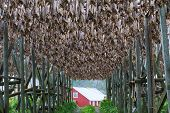 Cod fish at the drying racks and traditional Norwegian house rorbu, Lofoten, Norway poster