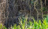 Wild jaguar resting and licking itself behind plants in riverbank, Pantanal, Brazil poster