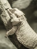 Yellow bearded dragon on the dead wood processed in duotone poster