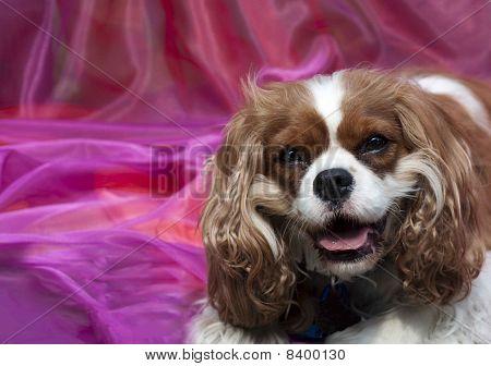Cavalier Spaniel On Pink