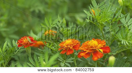 Spring Background Fresh Marigold Flowers