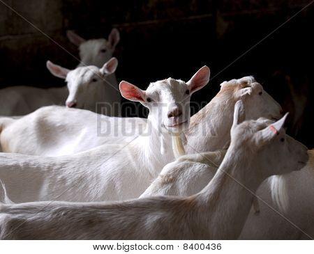 Dairy Goat Herd