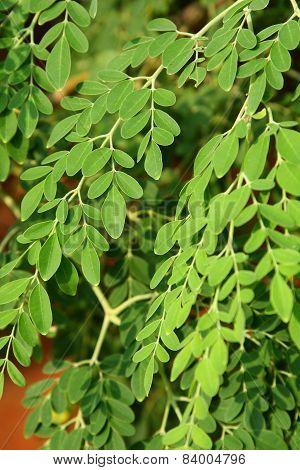 Moringa oleifera leaves,