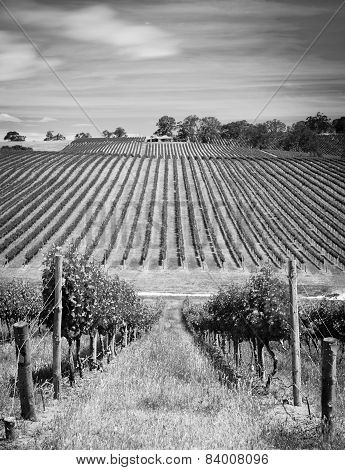 Vineyard Black And White
