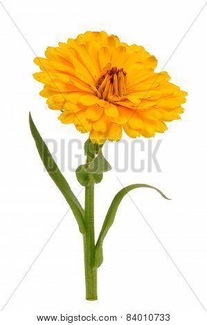 Yellow Calendula Officinalis (Pot Marigold) Flower Isolated On White Background