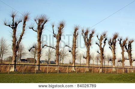 Pruned linden trees