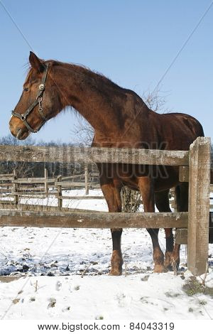 Beautiful Purebred Horse Looking Back In Winter Paddock Under Blue Sky