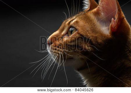 Closeup Bengal Cat Profile View