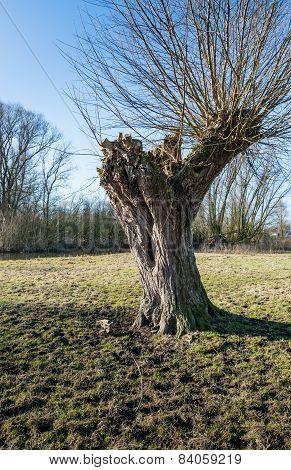 Pollard Willow In The Winter Sunlight