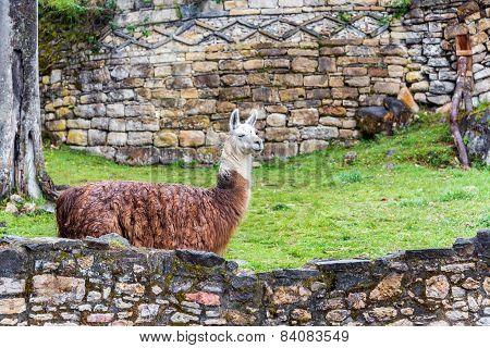 Kuelap Ruins And Llama