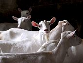 dairy goat herd on a farm - purebred saneen poster