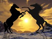 stallions rearing to fight silhouetted against the sunset poster