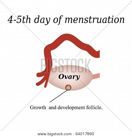 4-5 day of menstruation - the growth and development of the ovarian follicle. Vector illustration on