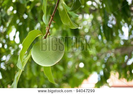 Diospyros Decandra Lour Or Gold Apple