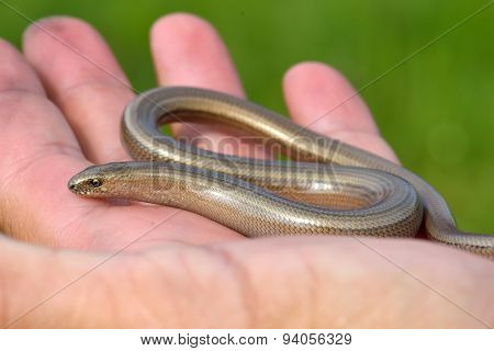 eastern slow-worm in man hand (Anguis colchica) poster