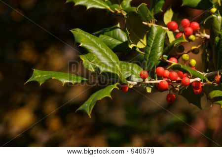 Holly Berries Alpha
