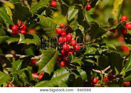 Holly Berries Beta
