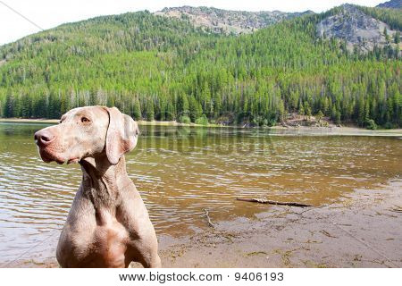 A weimaraner enjoys the water in Eastern Oregon along a river and lake. poster