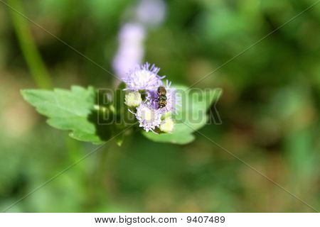 Fly Flutters By Goat Weed Flower