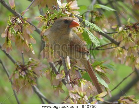 Female Cardinal With Maple Seeds