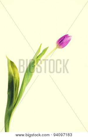 Tulip isolated on white background